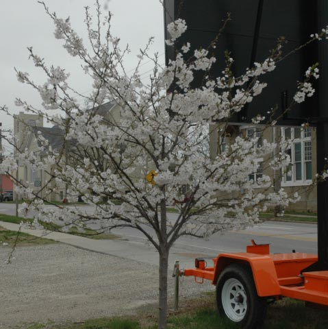 Yoshino Cherry Tree planted in honor of Ruth Scott